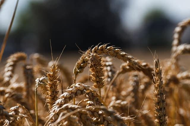 Gatanje sa zrnom pšenice