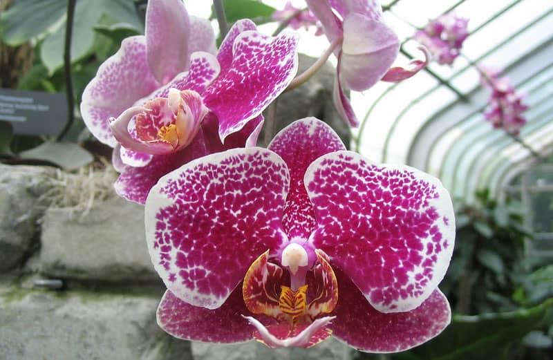 Orhideja (simbol lepote i harmonije u Feng shui-u)