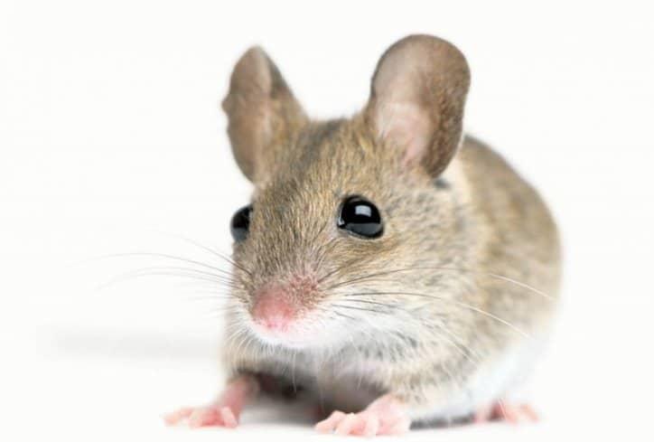 Lenormand karta Miševi