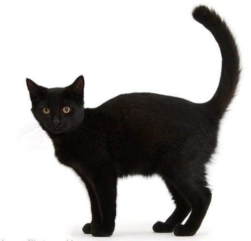 Seks crne mačke