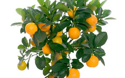 Feng shui – simbol limuna i pomorandže