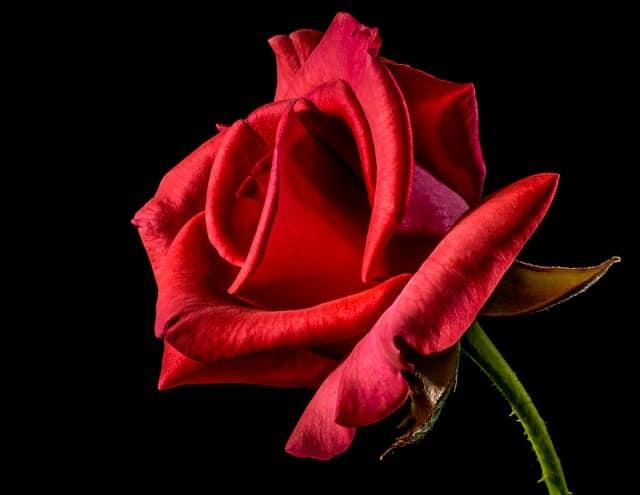 Gatanje iz taloga kafe – simbol ruže