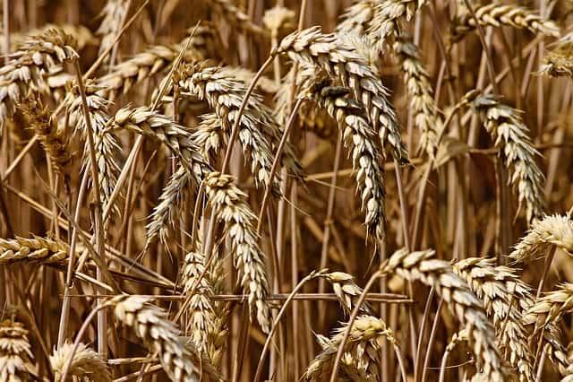 Gatanje iz taloga kafe – simbol klas pšenice