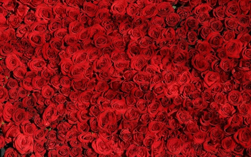 Ruže u snu – značenje