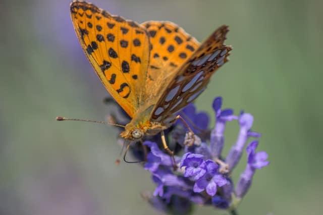 Verovanja o leptiru