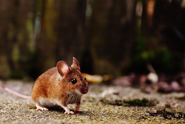 Gatanje iz taloga kafe – simbol miš