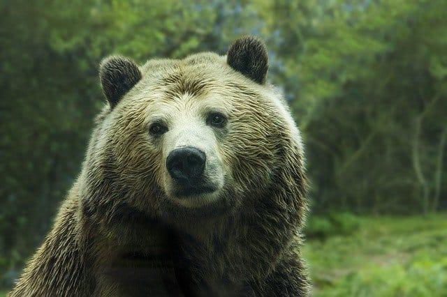 Gatanje iz taloga kafe – simbol medveda