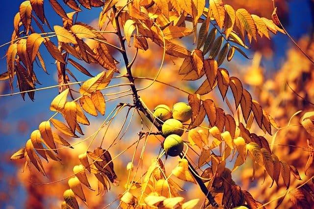 Gatanje iz taloga kafe – simbol orahovo drvo
